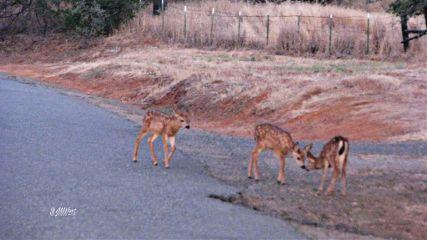 deers morning hdr2effect interesting california