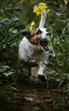 petsandanimals dog jackrussel cute funny