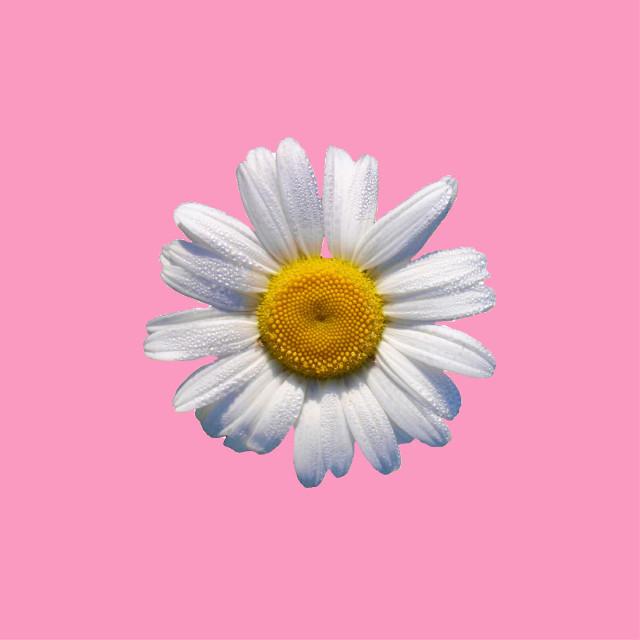 #FreeToEdit #simple #minimalism #cutout #mycutout #daisy #pink #remixme #madewithpicsart @pa