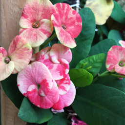 crispeffect pink tiedye flowers upclose