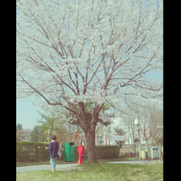 baby kwon cherry_blossoms splendid lovely